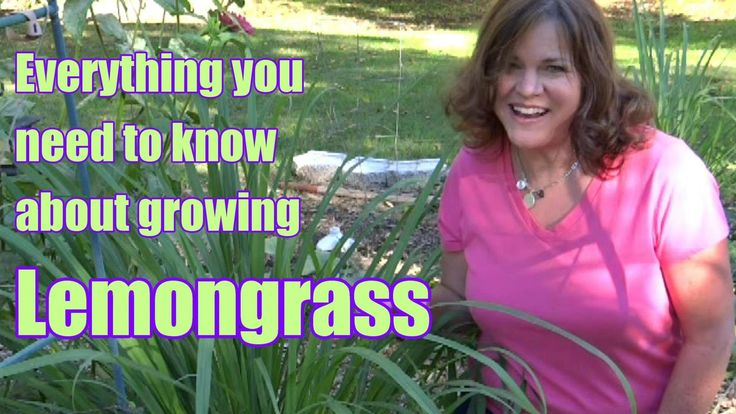 Hi Everyone!!! The footage for this video was taken over an 18 month period. If you have ever thought about growing Lemongrass, now is the time to propagate ...