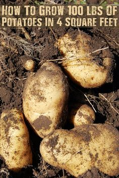 How To Grow 100 lbs Of Potatoes In 4 Square Feet - Potatoes can be grown as a fall/winter crop in warmer climate zones, so check out this great tip to maximize your space!