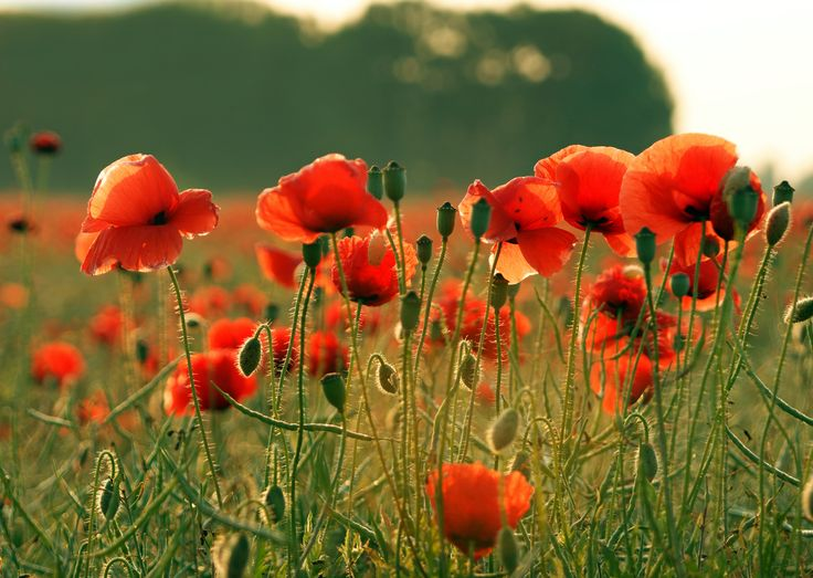 Poppy: The plant that produces poppy seeds among its other uses!