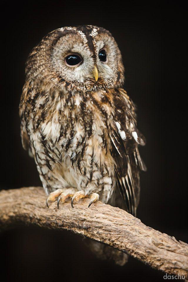 radivs:  Tawny Owl / Waldkauz by Daniel Schuhmacher