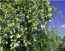 """Factsheet - Chamaecytisus prolifer var. palmensis...  """"superphosphate is needed to maintain high yields."""""""