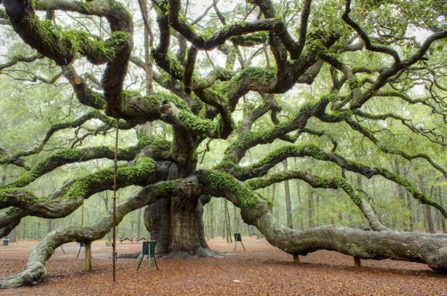 La quercia dell'angelo a Charleston, in Sud Carolina