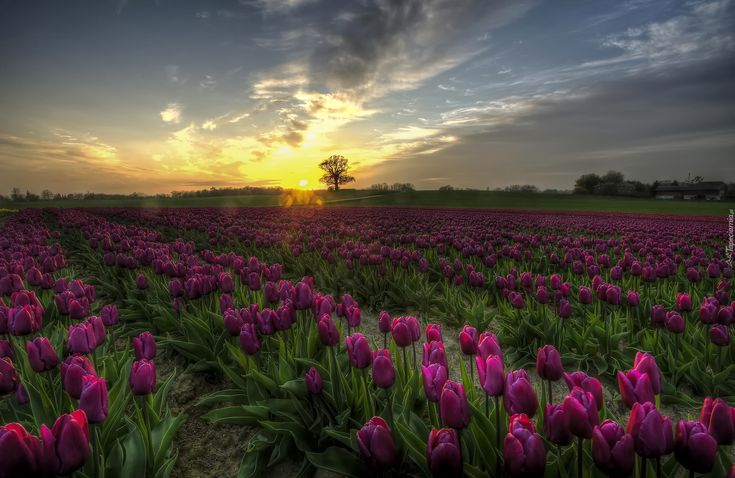Fioletowe, Tulipany, Zachód słońca