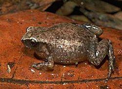 Austrochaperina robusta es una especie de anfibios de la familia Microhylidae