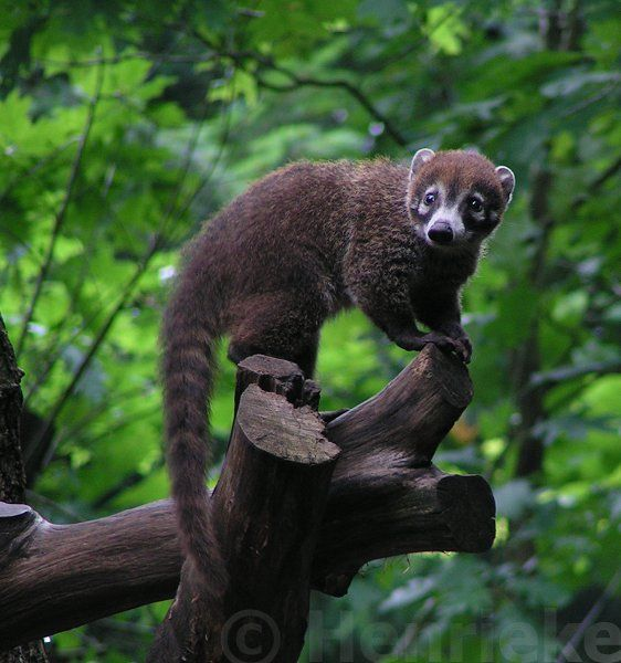 "White-nosed Coati ~ Coatimundi Pizote (Nasua narica) a species of coati and member of the family Procyonidae. Averaging about 8.8-13.2 lbs, males are much larger than females who may weigh as little as 5.5 lbs while large males may be 27 lbs. Body length about 43"", half of that being tail. They eat small vertebrates, fruits, carrion, insects, and eggs. They can climb trees easily but are most often seen on the ground, and (unlike nocturnal raccoons) in the daytime."