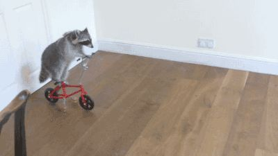 Raccoon Riding A Bike animals adorable animal gifs gif humor funny pictures funny animals animal gifs funny images