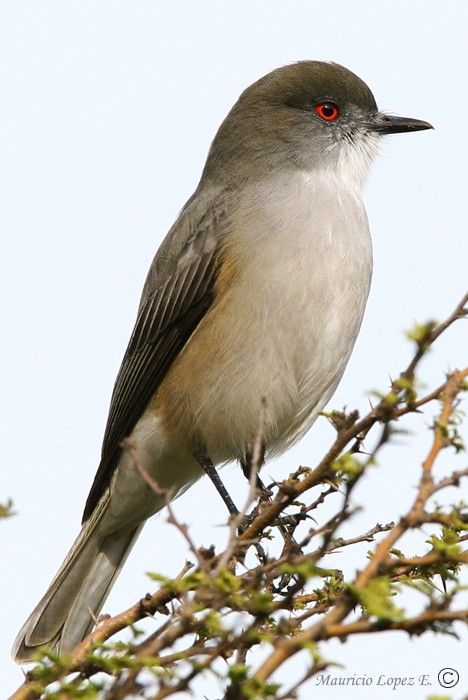 Diucón - Chile -- The fire-eyed diucon is a passerine bird of South America belonging to the tyrant flycatcher family Tyrannidae. It is usually placed with the monjitas in the genus Xolmis but was sometimes placed in its own genus Pyrope in the past.