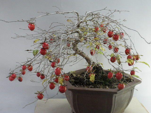 2011年11月 : 桐生さんのローヤ柿・老鴉柿・老爺柿 名品紹介