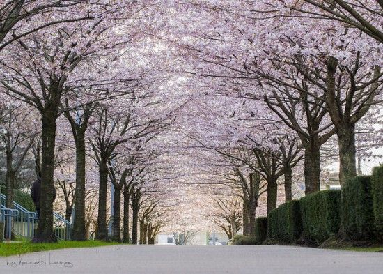 THE BEST PLACES TO SEE CHERRY BLOSSOMS IN VANCOUVER