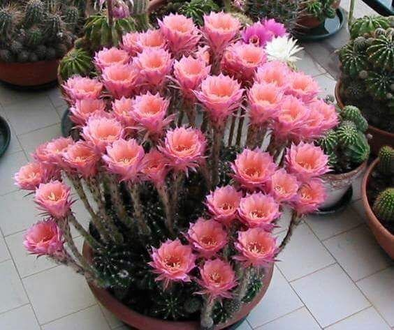 mmy Johnson This is what I term Echinopsis. The larger, columnar types growing in the Andes of South America, will always be Trichocereus to me.