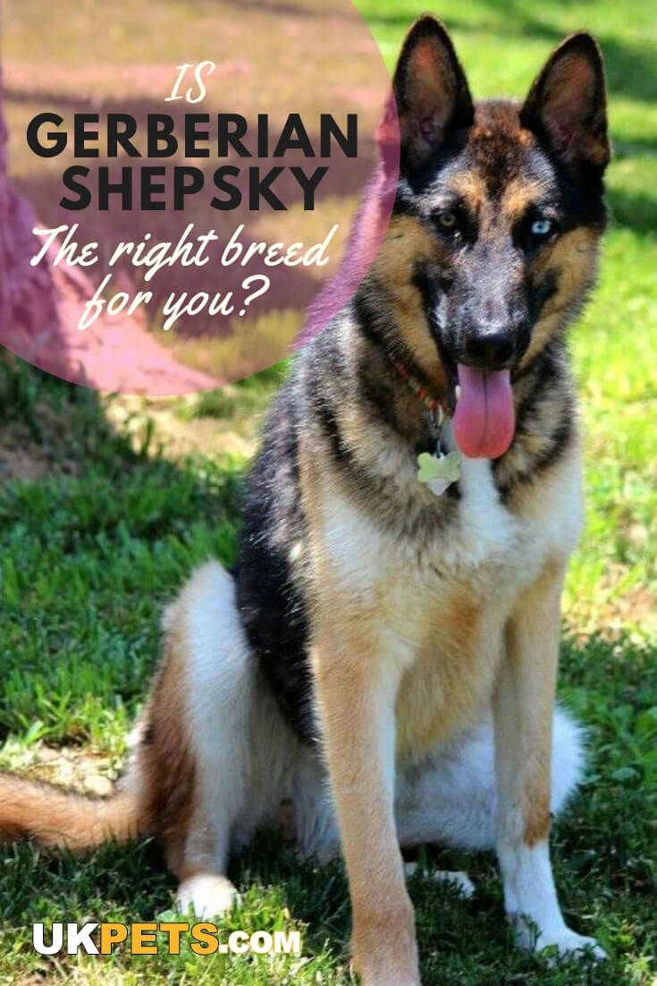 Gerberian Shepsky Gerberian Shepsky Dog Breeds Shepherd Dog Breeds