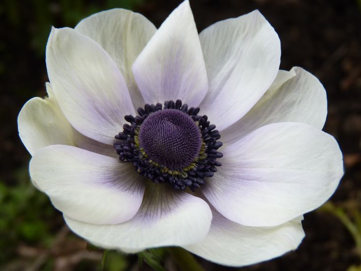 Anemone als Vorlage für Aquarell, in blaulila