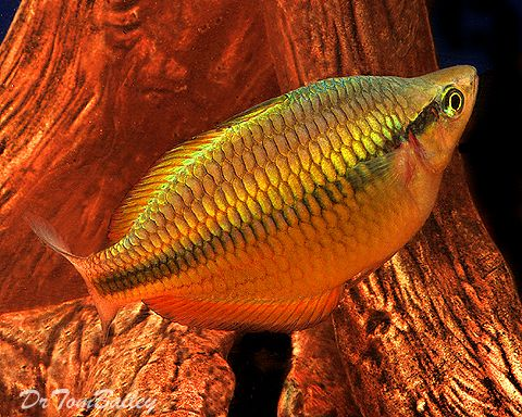 Lake Tebera Rainbowfish Aquarium Fish Rainbow Fish Freshwater Fish