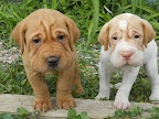 Mini Walrus Dogs - Basset Hounds and Shar Pei