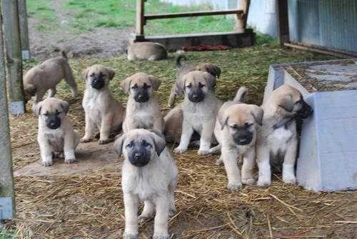 Anatolian Shepherd puppies ... a bunch of little Marleys!