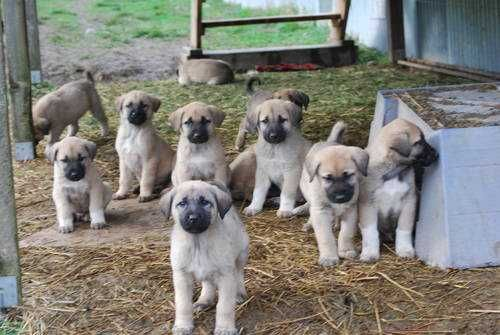 Anatolian Shepherd puppies ... a bunch of little Marleys!
