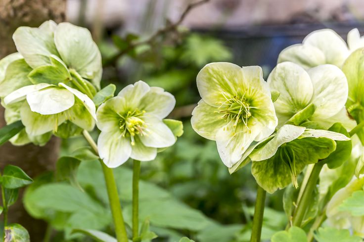 Hellebores white by Tine Nordbred on 500px