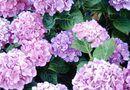 The Best Ways to Keep a Hydrangea Living Longer