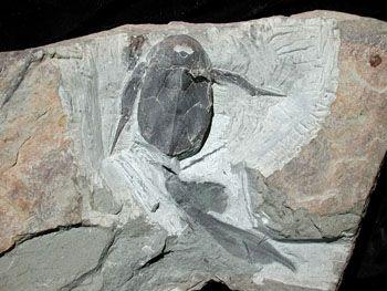 En plus des nombreux poissons, quelques INVERTÉBRÉS tels de petits CRUSTACÉS, des vers et des euryptérides, sorte de cousins géants des SCORPIONS terrestres, vivaient au fond de l'estuaire.