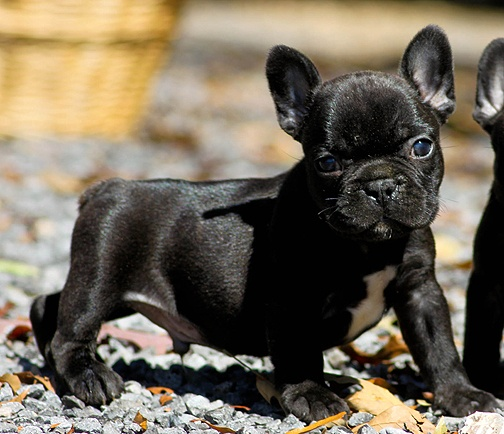 Frenchton Puppy | A is for Animals | Pinterest