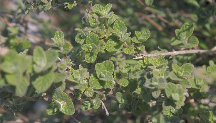 Mnoho rostlin nese název oregano, ale to pravé oregano s průkazností léčivých vlastností se jmenuje Origanum minutiflorum.