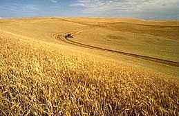 September 17, 1995  -  U.S.A. Wheat Prices Increase 25% September 17th, 1995 : US Wheat prices have risen by 25% this year, the reasons have been identified as the increased amount China now imports and poor weather conditions affecting the crop.