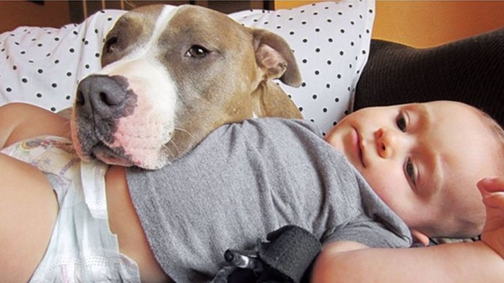 Watch this pit bull lick baby into a fit of laughter So CUTE! Can't help but smile while watching this.