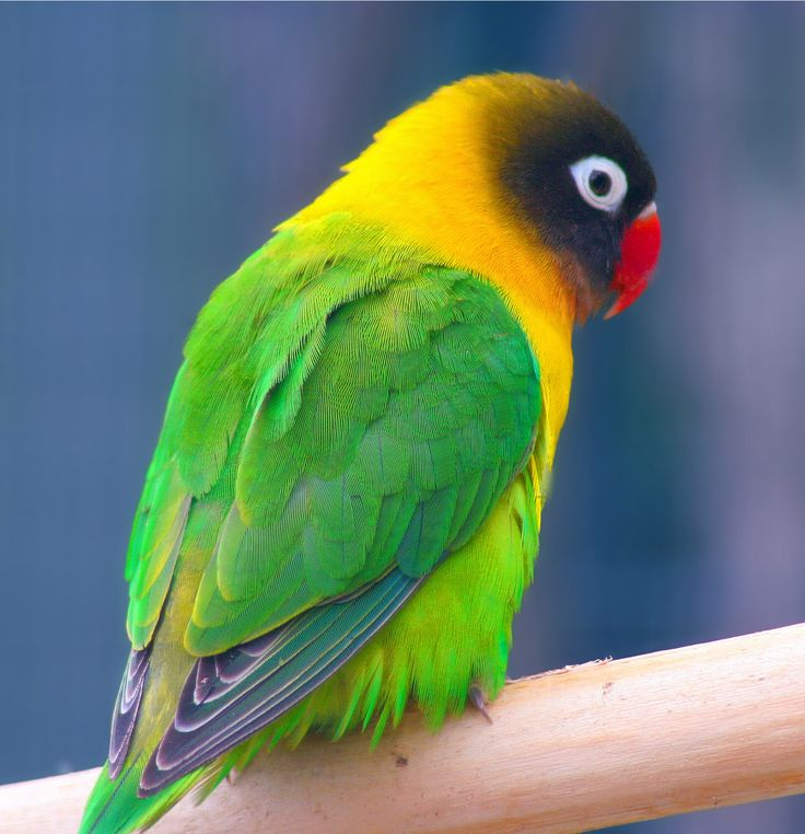 The Yellow-collared Lovebird (Agapornis personatus) is a monotypic species of bird of the lovebird genus in the parrot family Psittaculidae. They are native to northeast Tanzania & have been introduced to Burundi & Kenya.  Its upper parts are a darker green than its lower surfaces. Its head is black, & it has a bright red beak & white eyerings. Yellow on the breast is continuous with a yellow collar & an expansion of yellow over the nape of the neck.