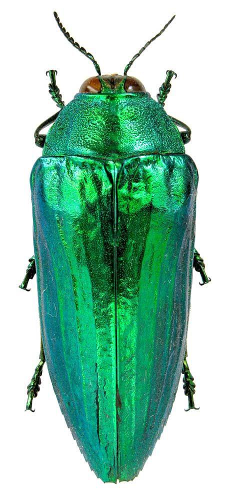 * Eucallopistus castelnaudii { Deyrolle, 1864 } { Buprestidae } Malaysia, Perak, Cameron Highlands *