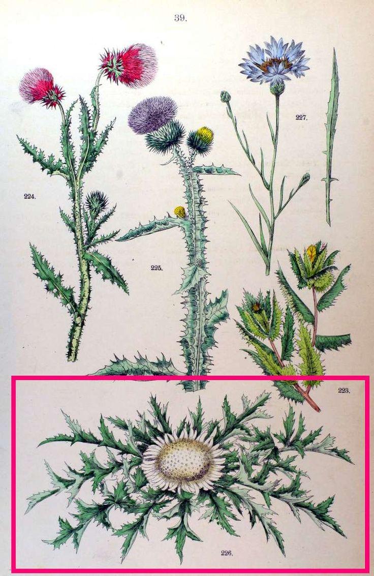 YABANİ LAHANA, SAPSIZ DİKEN CARLINA ACAULIS L. (Gompositae-fann.) Bulunduğu Yerler: Memleketin her tarafında kuru yerlerde, dağ eteklerinde yetişir. Yapısı: Sulu ve kalın kökü sarı kahverengi iki yıllık otsu bir bitkidir. Yapraklar büyük, basit kesik, dikenli, rozet halinde olup ortasında daha küçük