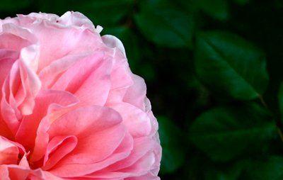 Med gødning, vand og de rigtige jordforhold får du dine engelske roser til at trives.