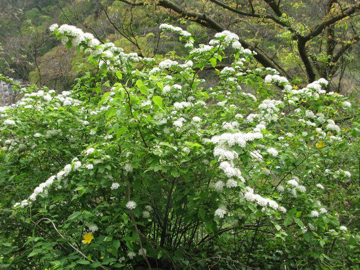 spiraea chamaedryfolia - Google-haku