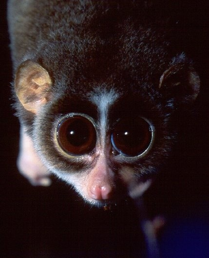 17 Best images about Prosimians on Pinterest | Madagascar ...