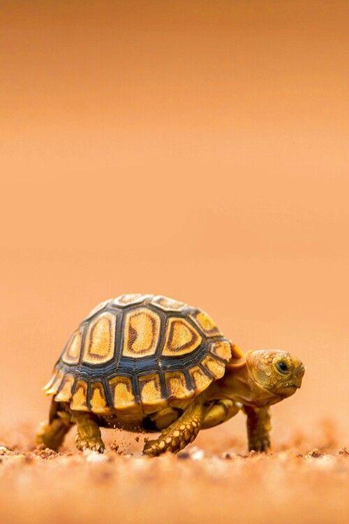 Lady Bothma- baby tortoise