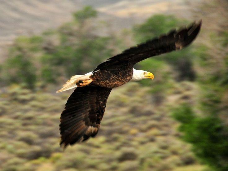 Бесплатная фотография: Белоголовый Орлан, Орёл, Лысый - Бесплатные фото на Pixabay - 940498