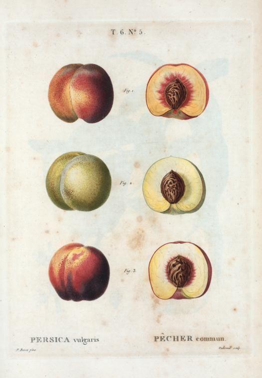 "Pierre-Joseph Redouté (Luxembourgeois-born French Painter, 1759-1840), ""Persica vulgaris = Pêcher commun"""