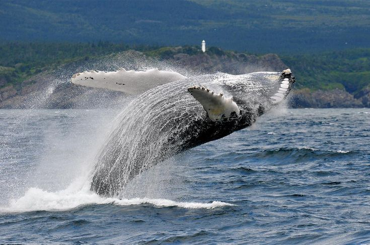 Hump Back Whale, Bulls Bay, Newfoundland a bath with a smile  (by ChanHawkins)