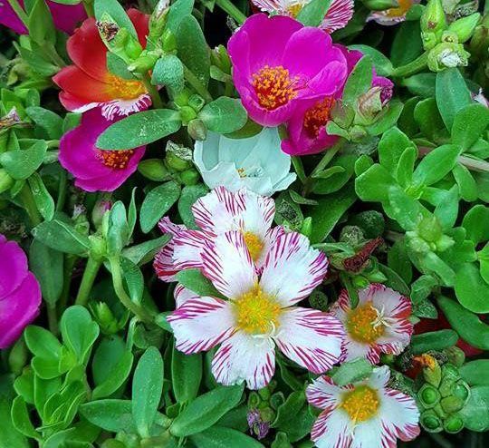 Hoa Sam nổi bật bởi nhiều màu sắc, như: hồng cánh sen, vàng nhạt, hồng phấn, đỏ son, cam nhạt