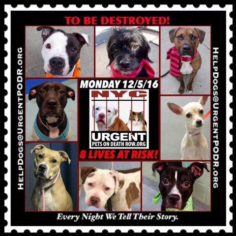 "8 BEAUTIFUL LIVES TO BE DESTROYED 12/05/16 @ NYC ACC **SO MANY GREAT DOGS HAVE BEEN KILLED: Puppies, Throw Away Mamas, Good Family Dogs. This is a HIGH KILL ""CARE CENTER"" w/ POOR LIVING CONDITIONS.  Please Share:    To rescue a Death Row Dog, Please read this: http://information.urgentpodr.org/adoption-info-and-list-of-rescues/ /"