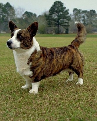 Cardigan Welsh Corgi, as opposed to the Pembroke Welsh Corgi. This is my Hugh