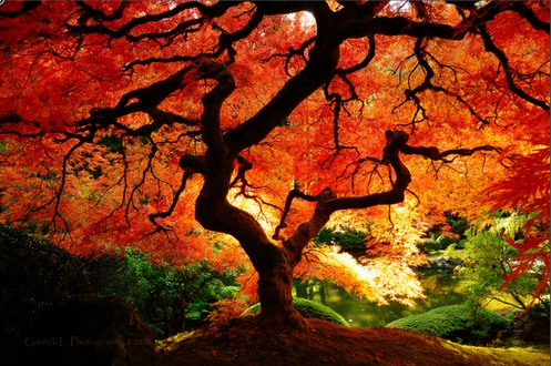 Great picture from Lance Langland - love the contrast and colour.: Photos, Japanese Maple, Nature, Color, Beautiful, Fall, Trees, Photography