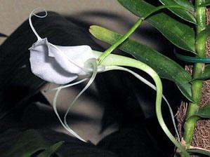 orchidee Angraecum