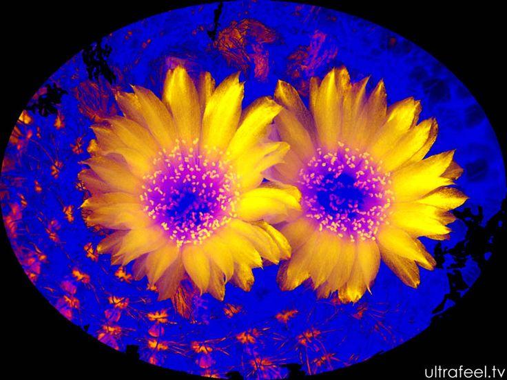 Yellow psychedelic cactus
