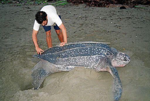 El investigador del CSIC, Juan Patiño, midiendo a una hembra de tortuga laúd en una playa colombiana. En la zona del golfo de Uraba, en Colombia, los investigadores han rastreado la presencia de tortuga laud a lo largo de más de 100 kilómetros de playas, aunque en la mayoría de ellas viven indígenas de la etnia kuna, que considera a los quelonios de la especie laud animales sagrados. Hacerles daño o matarlas trae infortunios a la comunidad kuna, según la cosmogonía de estos nativos.