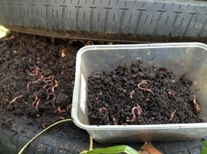 Some Dos and Don'ts of Worm Farming