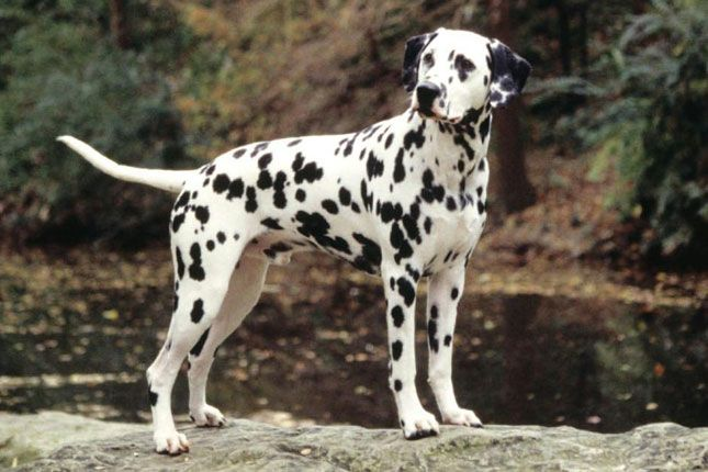 The Dalmatian also has an athletic build with strong bones and a square-proportioned body which gives it endurance, and an effortless and steady trot. The ground color of a Dalmatian is pure white with dense, black spots, while liver-spotted Dalmatians have liver brown spots.  #dalmatiandogs