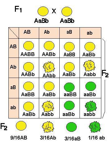 Ley De La Segregación De Caracteres Independientes Mendel Obtuvo Esta Ley Al Cruzar Diferentes Variedad Biología Avanzada Enseñanza Biología Libro De Biologia