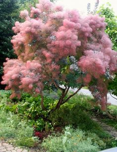 'Old Fashioned' Smokebush tree