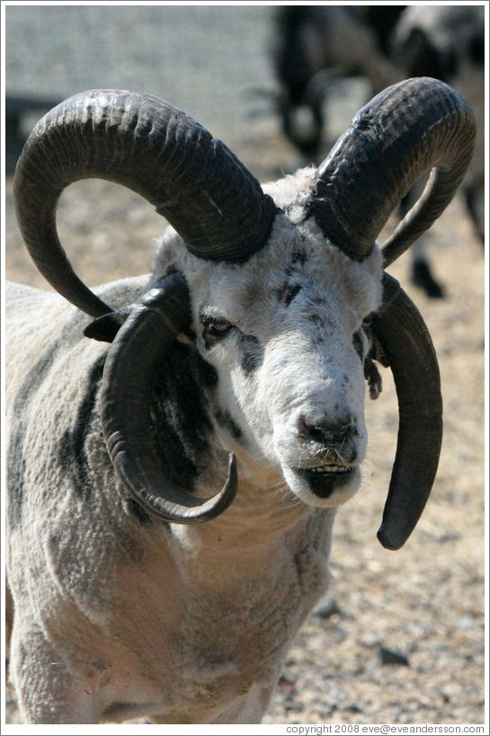 Four horned sheep   Goats and Sheep   Pinterest   Animal