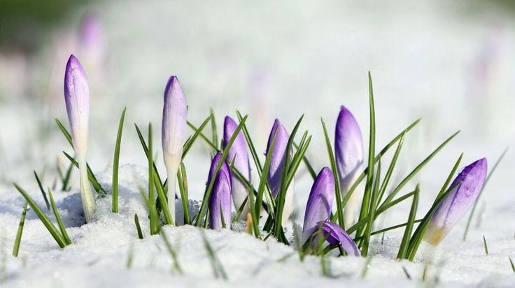 30555__flowers-in-snow_p.jpg